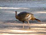 Turkeys at Boyce Thompson Arboretum