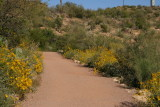 Brittlebush blooming along the trail above the lake