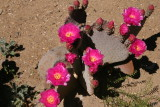 Beaver Tail Prickly Pear