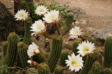 Echinopsis species