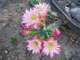 Huntington Cereus