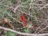 Cardinal in Asparagus Bush