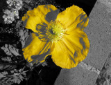 Iceland Poppy using Color Accent
