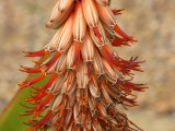 Aloe candelabrum