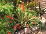 Aloe ellenbeckii x vera