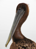 Young Brown Pelican