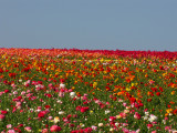 The Flower Fields - Carlsbad, California