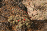 In the Ponderosa pine forest we found lots of Echinocereus triglichidiatus