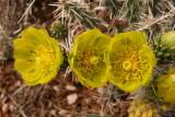 Whipple Cholla - Cylindropuntia whipplei