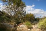 Sycamores in Picadilla Creek