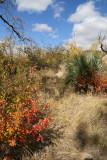 Fall color on the bank of Picadilla creek - Sumac species