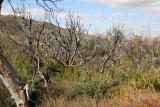 Burned sugar bushes near Cline Cabin site