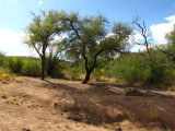 The two mesquite trees that are in the old picture