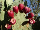 Colorful Prickly Pear cactus Fruits