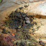 Beetles and larvae on Cactus Garden Tree