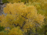 Fremont Cottonwood