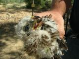Coopers hawk chick