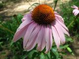 Echinacea in the herb garden