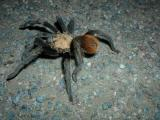 Tarantula strolling across the staff parking lot early one morning...