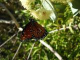 Queen butterfly on Eucalyptus gillii