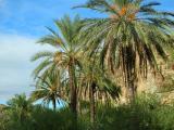 Majestic Date Palms in the future Arabian Garden