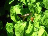 Hummingbird feeding on Turk's Cap