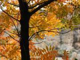 Chinese Pistachio tree