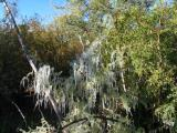 Mesquite covered with icicles