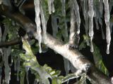 Mesquite branch encased in ice