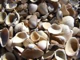 Freshwater clams along the lake shore