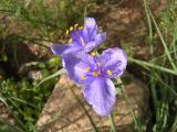 Western Spiderwort  in the Cactus Garden