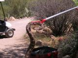 Western Diamondback being removed from the Cactus Garden