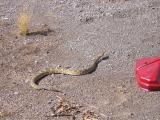 Blacktail Rattlesnake