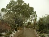 The Big Eucalyptus in the Cactus Garden