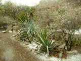 Yucca, Dasylirion and Agave in Snow