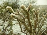 Snow on Buckhorn Cholla