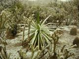 Snow Covered Agave in the Cactus Garden