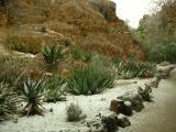 Aloes in Snow