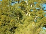 Big Hanger on Eucalyptus in the Desert Legume Garden