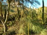Blue Palo Verde in the Cactus Garden