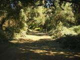 Main Trail through the Olive Trees has been Cleared of Fallen Branches