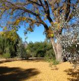 Pistachio. Fallen Leaves.