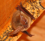 Bat in the Wool Shed