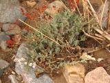 Eriogonum wrightii var. wrightii