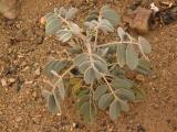 Cassia covesii