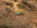 Brittlebush Blooming
