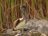 Brown Pelican at Ayer Lake