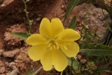 Oenothera primiveris - Yellow Desert Evening Prinrose