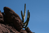 Organ Pipe Cactus growing in rock