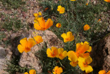 Eschscholzia mexicana - Mexican Gold Poppies